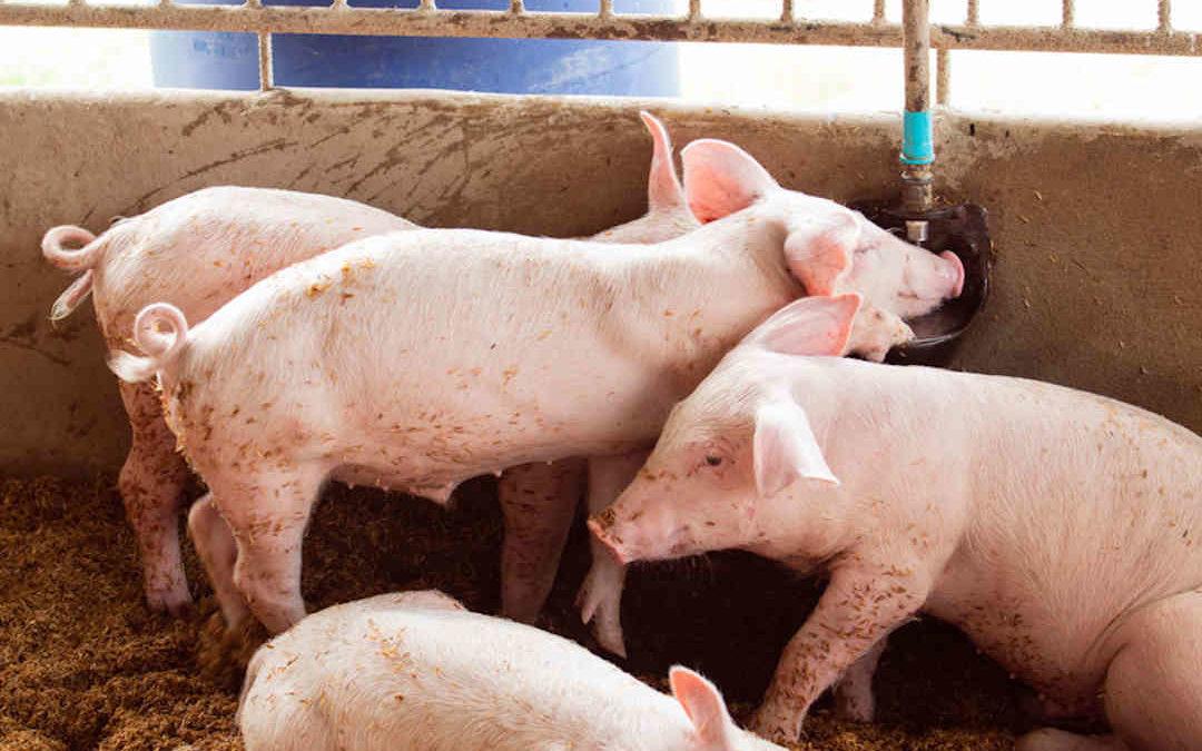Diarrea epidémica porcina: Qué es, causas y prevención