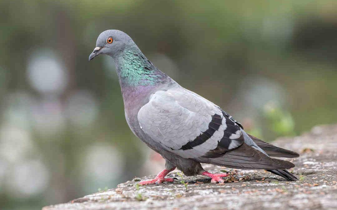 Tipos de enfermedades que transmiten las palomas