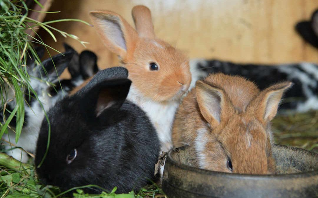 Limpieza e higiene en granjas de conejos