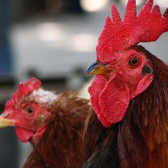 Cómo prevenir y controlar el ácaro rojo de las gallinas