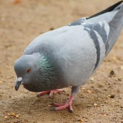 Eliminar los excrementos de las palomas de tu terraza