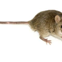Los métodos más eficaces para eliminar roedores