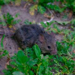 imagen destacada de la página sobre cómo saber si hay ratas en casa y cómo evitarlas en la web de Zotal